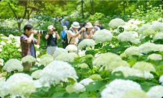森林植物園のあじさい