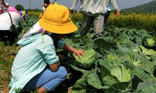 収穫体験キャベツ
